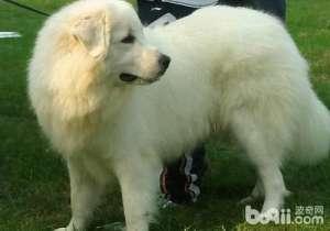 冬季要预防大白熊厌食、挑食-成犬饲养