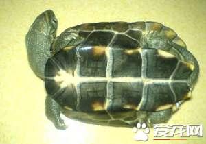 乌龟能脱壳吗 当乌龟长大到一定程度会脱壳